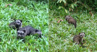 3 baby civets squeak loudly for mommy at Dairy Farm in S'pore – Mothership.SG – News from Singapore, Asia and around the world