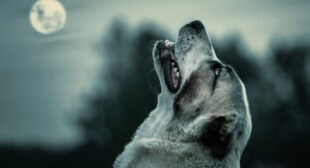 Do Dogs Howl at the Moon?   Dog Facts   Mad Paws Blog
